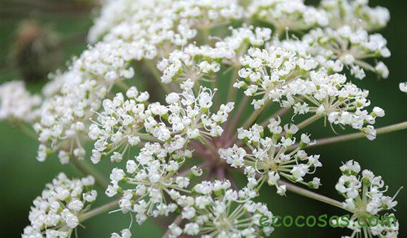 Dong quai. Propiedades y contraindicaciones de la planta angélica 2