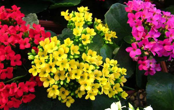kalanchoe cancer