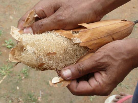 luffa esponja vegetal