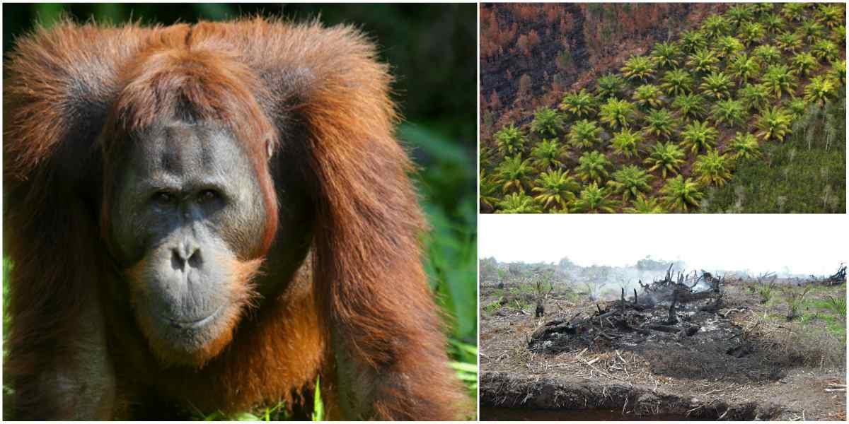 orangutan de borneo