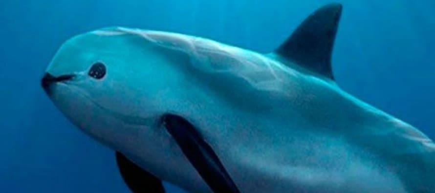 vaquita marina en peligro de extincion
