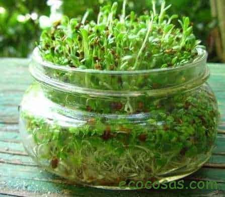 alfalfa propiedades