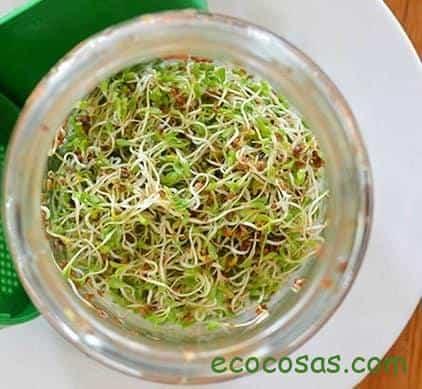 germinado de alfalfa