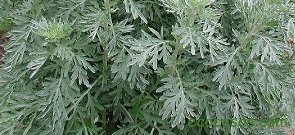 ajenjo planta