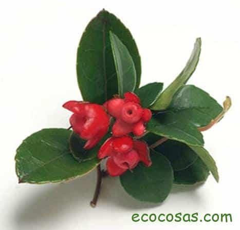 gaulteria planta