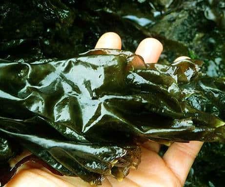 alga nori embarazo