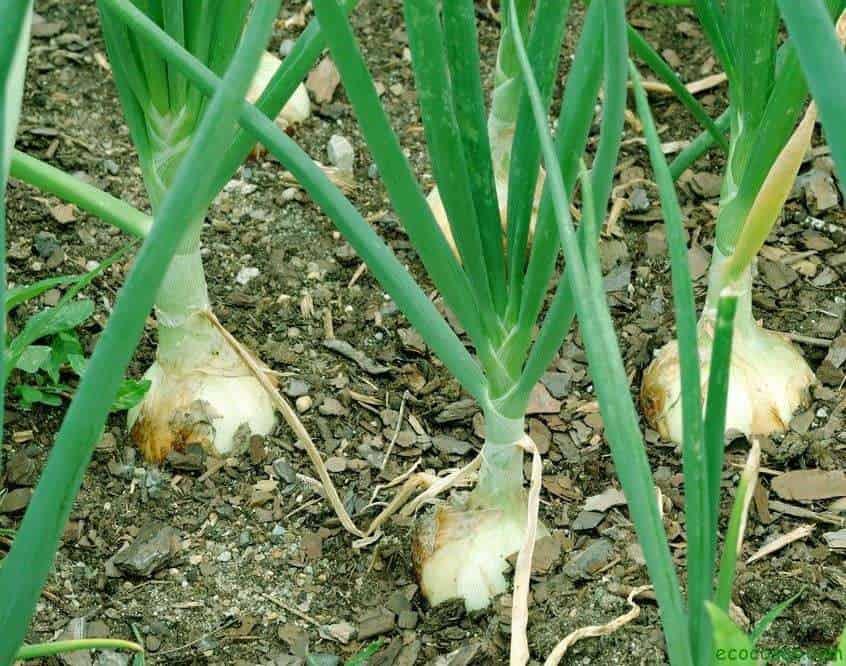 Plantar cebollas: todo sobre la siembra, el cultivo y el almacenaje 1