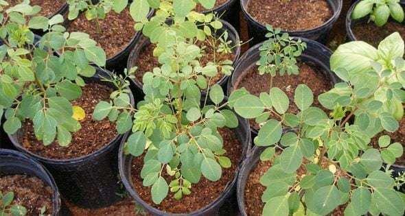Moringa oleifera: qué es y para qué sirve 3