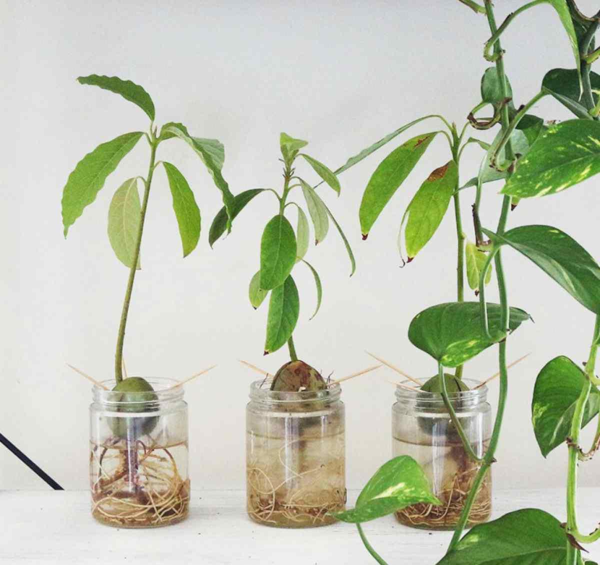 como plantar aguacate