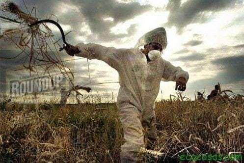 Amaranto, bombas de semillas y transgénicos 1