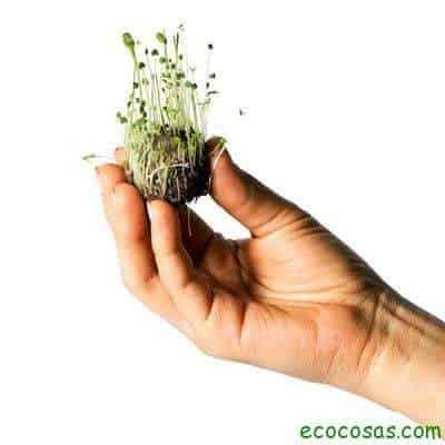 Amaranto, bombas de semillas y transgénicos 2