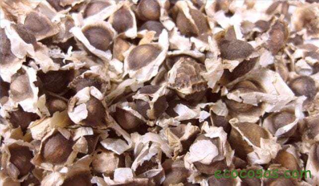 Moringa oleifera: qué es y para qué sirve 1