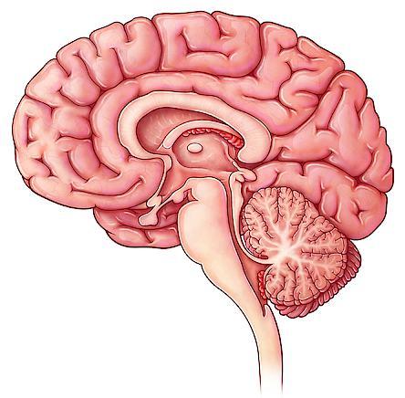 glandula pineal funciones