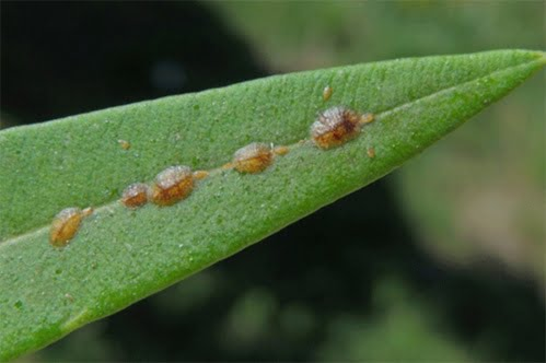 insecticida para cochinilla