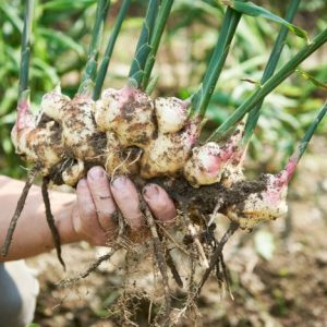 como plantar jengibre
