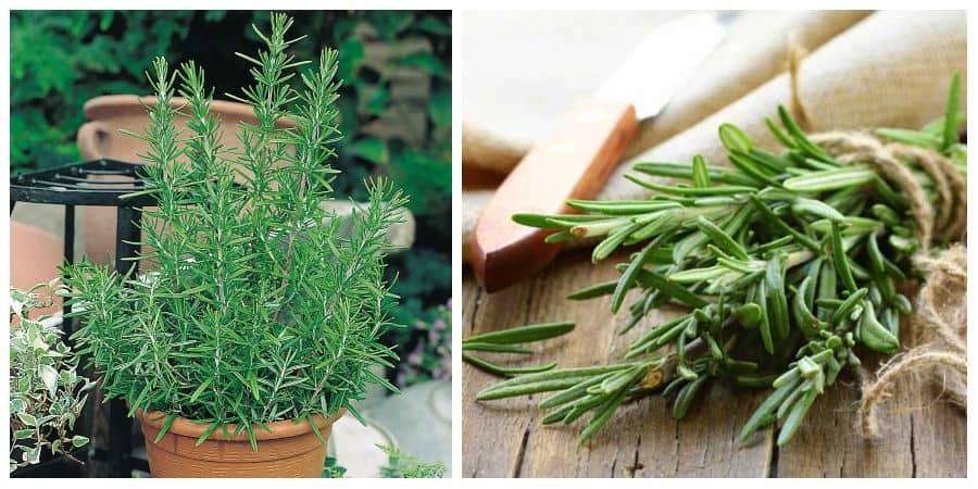 plantar romero en maceta