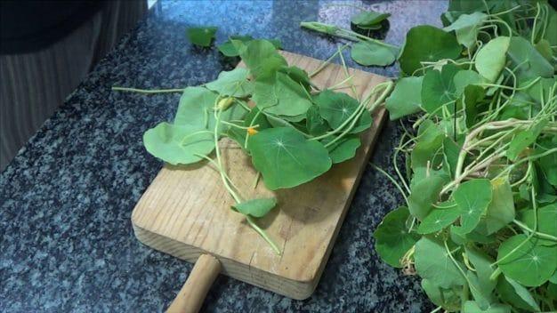 Capuchina o Taco de Reina, Características y cómo Cocinar con esta planta 2