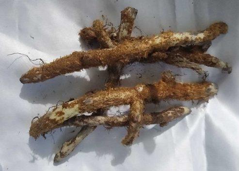 """La planta calaguala es originaria de América Central, aunque en la actualidad se encuentra en gran parte de Sudamérica y en las islas del Caribe también. Se trata de un helecho cuyo nombre científico es Campyloneurum angustifolium, pero también se considera válido el nombre Polypodium calaguala. El nombre común y popular de la planta, calaguala, proviene del quechua y significa algo así como """"adorno juvenil"""". Otros nombres comunes son hierba del lagarto, fillkun (lagarto), penal-fillkun (lagarto pegado), kalawalla o tregua-lahuen (hierba del perro en mapudungún, el idioma Mapuche) . Calaguala y sus propiedades medicinales Tanto la planta como el extracto que de ella se obtiene de la misma se conocen por el mismo nombre en la actualidad y sus principios medicinales se extraen del uso de su raíz. Las propiedades de la calaguala son múltiples, y en la actualidad y fuera del continente americano, la forma más común de consumirla es mediante cápsulas o comprimidos. Contiene azúcares, aceites esenciales y almidones, y es rica en minerales como el nitrato de potasio. También contiene, ácido glicirretínico, esteroides (ecdisterona y polipodaureína), taninos, resinas y principios tónicos amargos. Gracias a todos sus componentes, destacan las propiedades de la calaguala como antioxidante, digestivo, antitusivo y antiinflamatorio natural. Beneficios de la calaguala Gracias a sus principios amargos su infusión ayuda a tratar afecciones y problemas digestivos como diarrea, dolor de estómago, estreñimiento, gastritis y otras afecciones gastrointestinales. Se la considera un calmante para los problemas de garganta y respiratorios como la tos o el asma gracias a las propiedades antiinflamatorias y antitusivas. A los glicósidos de saponina calagualina, los cuales se encuentran presentes entre los componentes de esta planta, se les atribuye actividad anti-tumoral. En Gran parte de América, sobre todo en Centroamérica, ancestralmente se ha utilizado esta planta para reforzar y aumenta"""